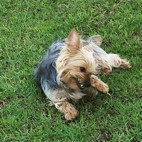 yorkie grass 88 best images about yorkies on haircuts yorkie and your
