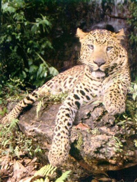 Pola Kulit Macan Harimau aneka ragam