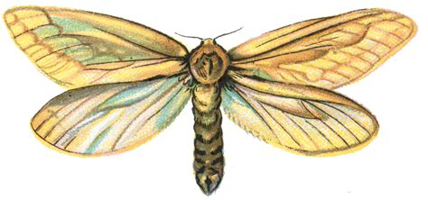 The Moth And The L Summary by File Hepialus Humuli Moth 001 Png The Work Of God S Children
