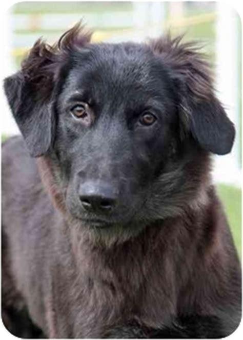 german shepherd golden retriever mix temperament german shepherd doggolden retriever mix puppy for adoption in breeds picture