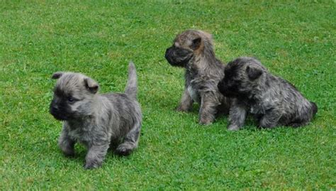 cairn terrier puppies ohio 17 best images about cairn terriers on elliott erwitt pets and westies