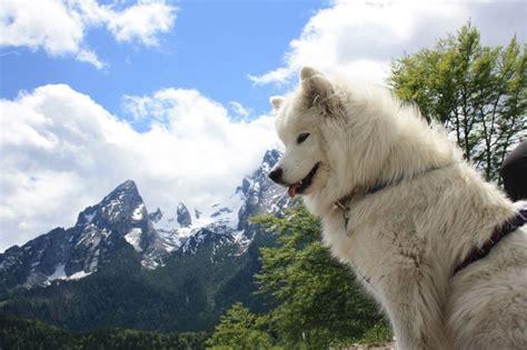 Samoyed Shedding by Samoyed Shedding Season Search Pet