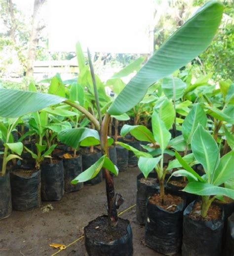 Bibit Akasia Daun Lebar cara menanam pohon pisang agar cepat berbuah