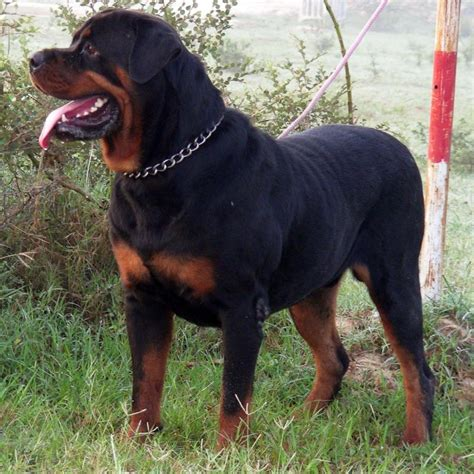 puppy prices rottweiler puppy price