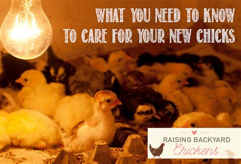 how to care for chickens in your backyard how to care for chickens in your backyard 28 images how to care for a backyard chicken