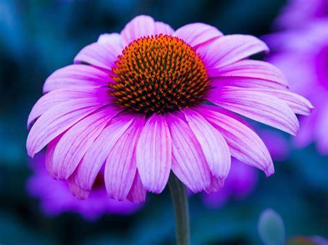 echinacea flower purple color wallpaper  desktop