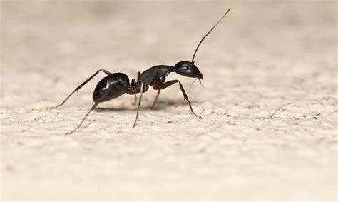 come combattere le formiche in cucina formiche in casa cause e rimedi naturali per tenerle