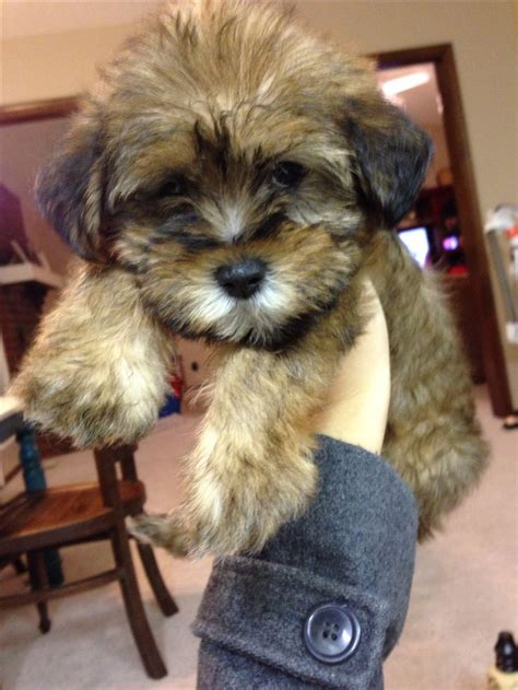 schnauzer shih tzu mix shih tzu schnauzer mix puppies breeds picture