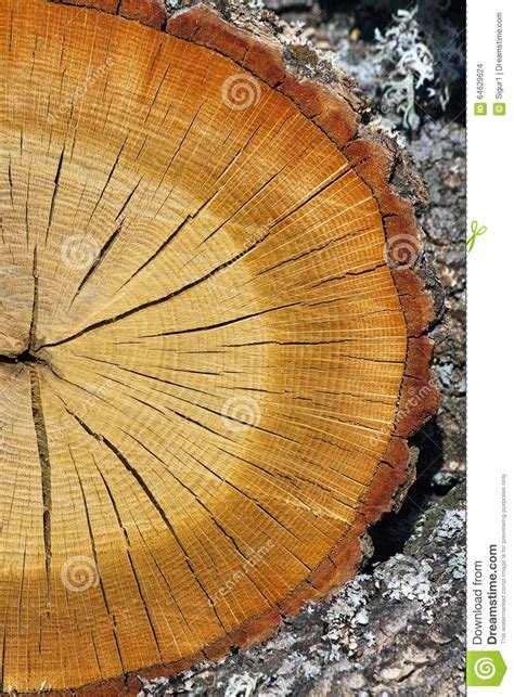 Cutting A Tree In Sections by Cross Section Of Tree Trunk Stock Photo Image 64629624