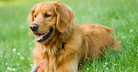 average expectancy for golden retrievers top 6 best breeds characteristics expectancy dailys