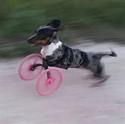 sedia a rotelle per cani cammina nuovamente grazie ad una protesi stata in