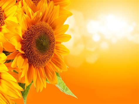 yellow and pink sunflowers flower chopra vetry gorgeous goddess guru