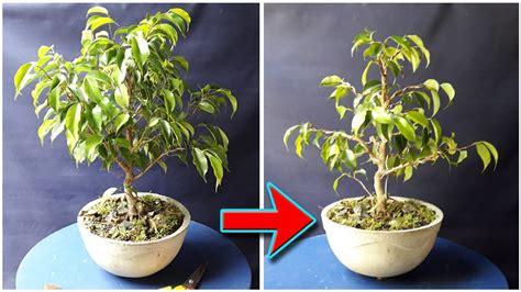 gartengerät rechen norddt ficus benjamini bonsai gt birkenfeige ficus benjamini als