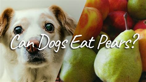 can dogs pears can dogs eat pears you might be surprised pet consider