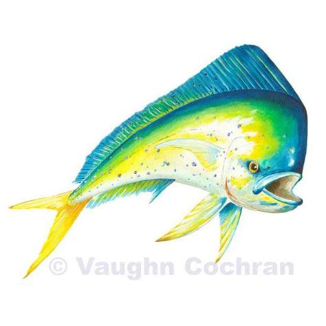 mahi mahi images mahi mahi fish drawing www pixshark images