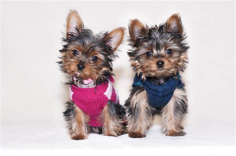 pictures of baby yorkies yorkies photos breeds picture