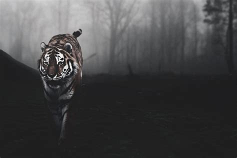 wallpaper tumblr tiger tiger background by a7md3mad on deviantart