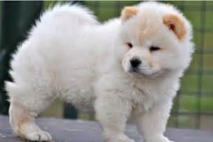 fotos de cachorro chow chow racas org