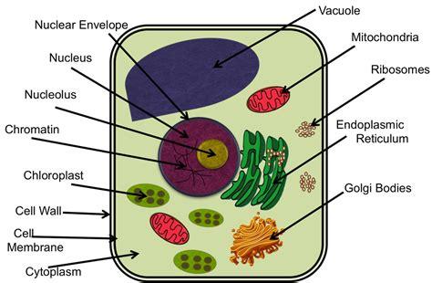 plant cell diagram 6th grade cells mr s 6th grade class