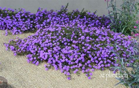 drought tolerant ground cover drought resistant ground cover zone 9 wealthycircle club