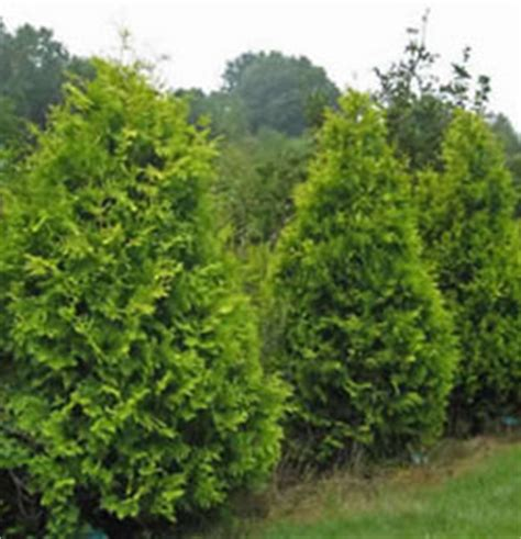 Black Hairstyles For 60 Pine Trees by American Arborvitae Tree Facts American Arborvitae