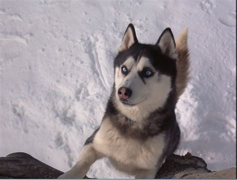 from snow dogs from snow dogs siberian huskies photo 32170980 fanpop