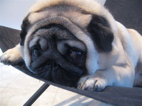is a pug hypoallergenic pug not in the housenot in the house