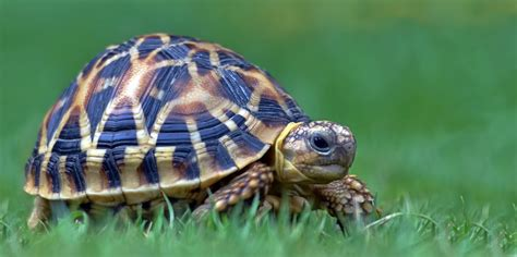 Diy Small Bathroom Ideas by Indian Star Tortoises Star Tortoise Care