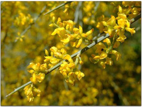 porta della ginestra la ginestra piante da giardino caratteristiche ginestra