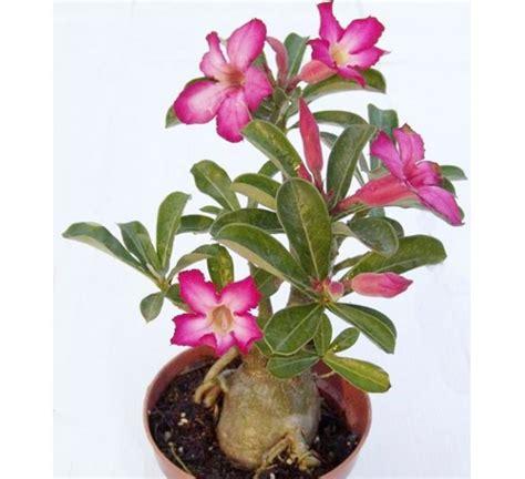 jual biji benih bunga kamboja jepang adenium baby pink
