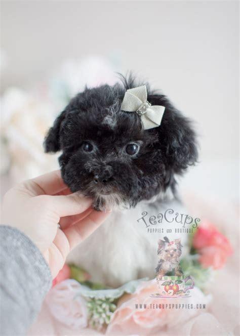 teacup havanese puppies for sale havanese puppies for sale by teacups puppies boutique teacups puppies boutique