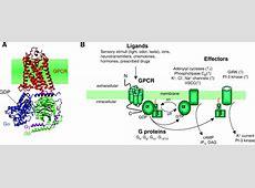 G-protein-coupled receptor heteromer dynamics | Journal of ... G Protein Coupled Receptors Gpcrs