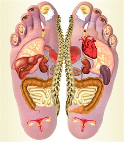 organi interni corpo umano lato destro scuola di operatore olistico 3 176 seminario new school