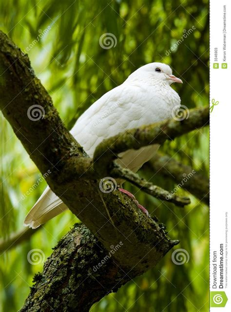 tree doves white dove in a tree
