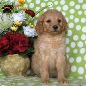miniature golden retriever oregon miniature golden retriever breeders in ct dogs in our photo
