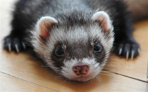 what do you do if your eats chocolate can ferrets eat chocolate and what to do if your ferret eats some