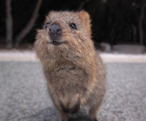 quokka facts quokkas australian marsupials