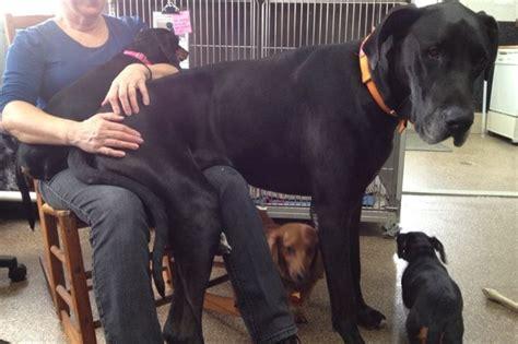 mujer con un perro mas grande 23 de los perros m 225 s gigantes que ver 225 s hoy t 243 mateunbreak