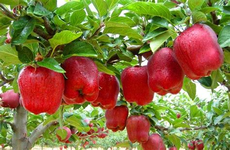 how for an apple tree to produce fruit trial product bonsai apple tree seeds 20 pcs apple seeds