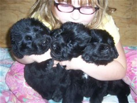 newfoundland puppies michigan newfoundland puppies in michigan