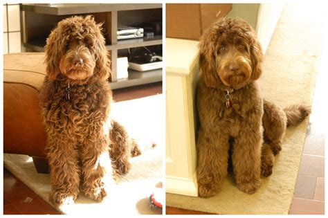 labradoodle hairstyles hairstyles for labradoodle hairstylegalleries com