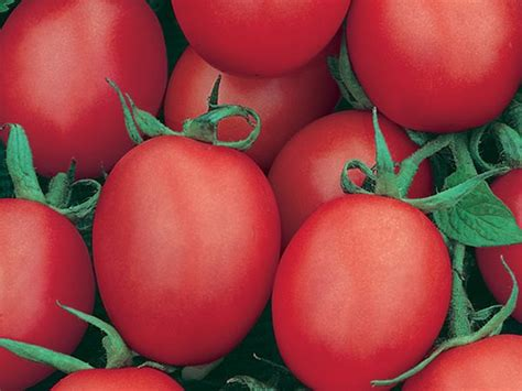 Tomat Cherry Juliet plant list cherry tomato juliet