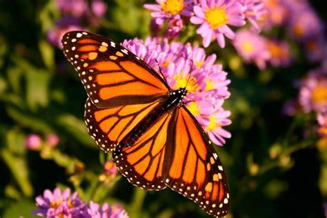 imagenes de mariposas monarcas mariposa monarca im 225 genes y fotos