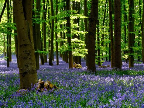 bluebell forest bluebells