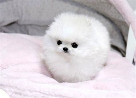 pomeranian puppies small pictures of pomeranian puppies breeds puppies best pictures of pomeranian
