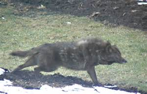 coyote mix coyote or wolf or hybrid