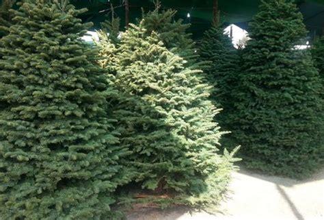 arboles navidad naturales gdf inicia ca 209 a de reciclaje de arboles de navidad buenas noticias