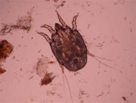 ear mite www pixshark com images galleries with a bite