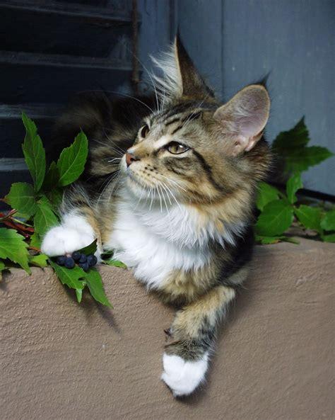 Kitten Mainecoon maine coon katze