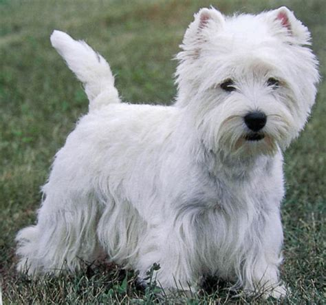 westie breed west highland terrier westie breed small petmania